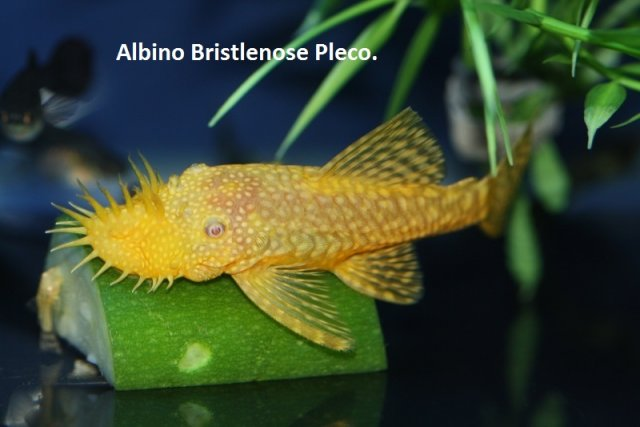 Albino bristlenose pleco with 24 text.jpg