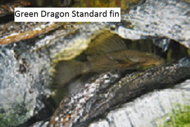 Green Dragon Standard fin 9 x 11.jpg