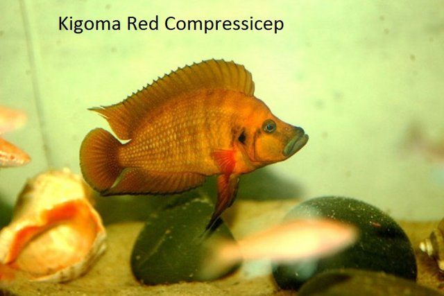 Kigoma Red Comps 9 x 11.jpg