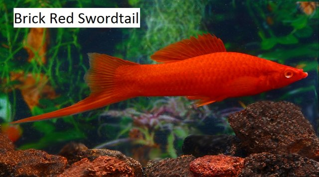 Red Swordtail 9 x 11.jpg